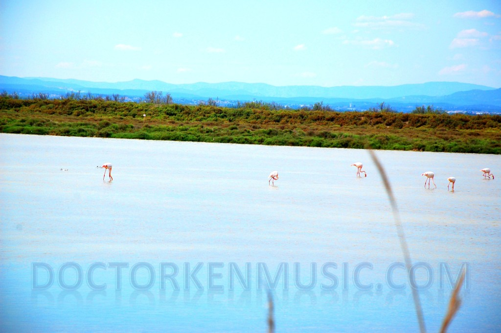 Flamingos feeding in La Camargue
